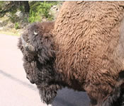 Bison, up close